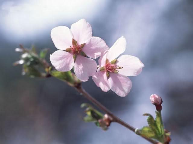 กลิ่น Cherry Blossom 30ml.