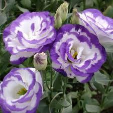 ดอก Lisianthus Sapphire Purple(ม่วง-ขาว) / 20 เมล็ด