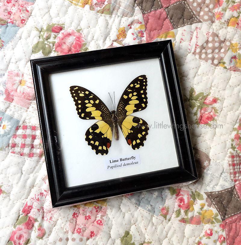 ++ ผีเสื้อสต๊าฟ กรอบผีเสื้อเดี่ยวจิ๋ว ผีเสื้อหนอนมะนาว (Lime Butterfly) ++