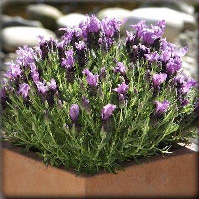 ลาเวนเดอร์ แบนเดอร่า เพอร์เพิล (Bandera Purple) 2.9บาท/เมล็ด
