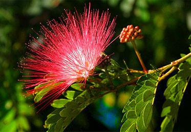 หัวน้ำหอมดอกจามจุรี Jamjuree รหัสสินค้า : 002851