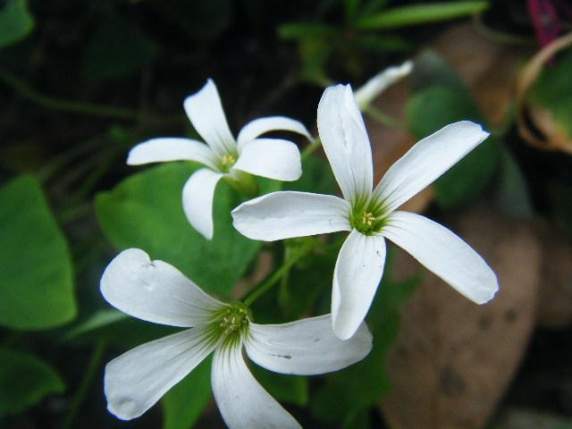 ผีเสื้อราตรี เขียวดอกขาว